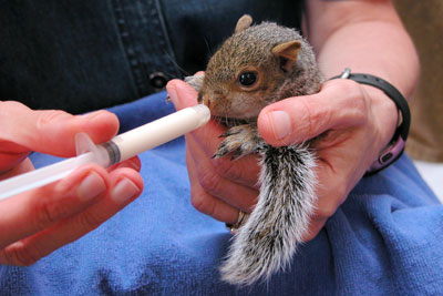 Feeding the baby squirrel.