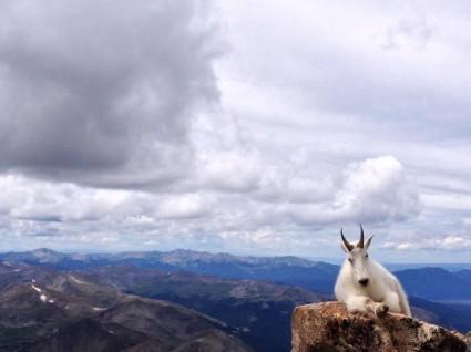 "Oreamnos americanus Mountain goat just sayin' ""hi""!"